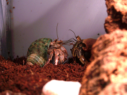 7 Reasons Why You Should Never Buy a Hermit Crab  PETA