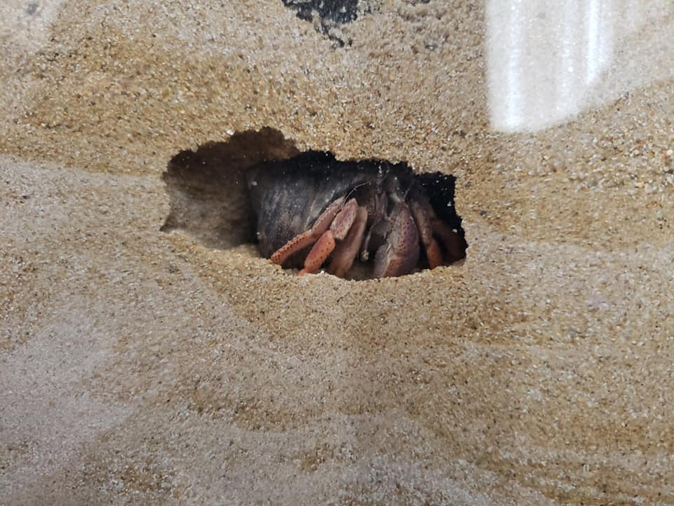 A hermit crab building it's molting burrow. Photo Credit Matt Steele
