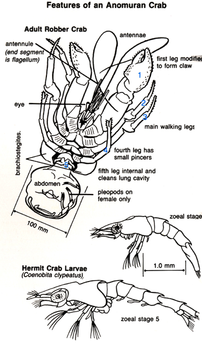 Anatomy of a hermit crab 3291453 - follow4more.info