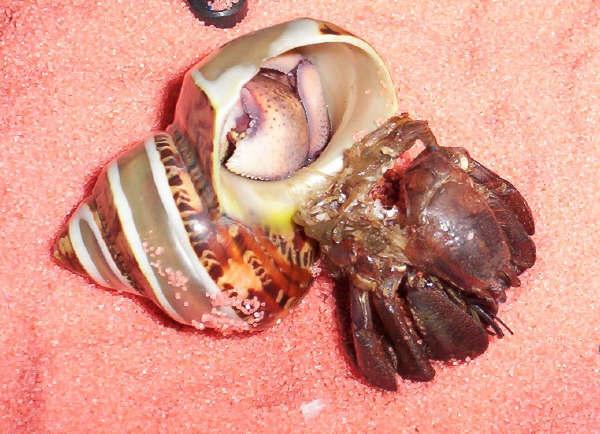 Hermit Crab Molt Marie Davis discusses ...