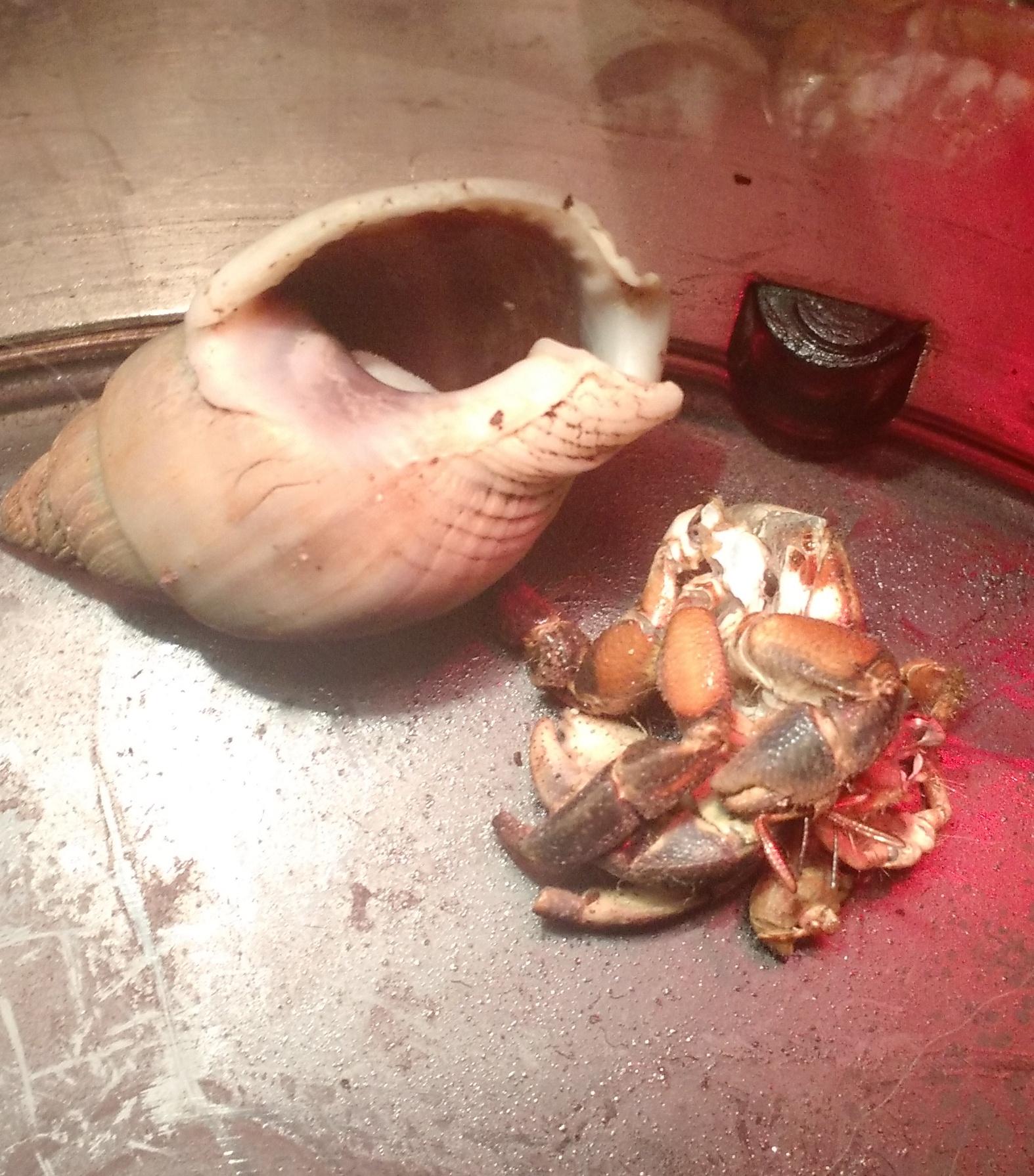 Hermit Crab Molt Hermit crabs surface m...