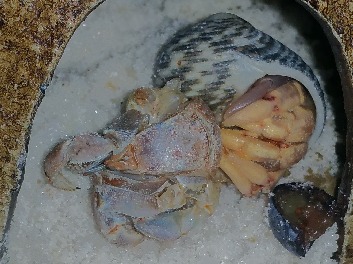 C. compressus surface molt. Top most leg is a newly regenerated limb.