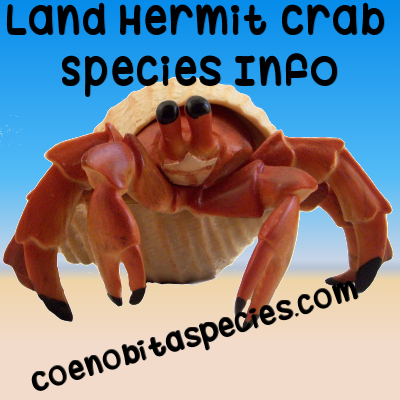 Land hermit crab species info at coenobitaspecies.com