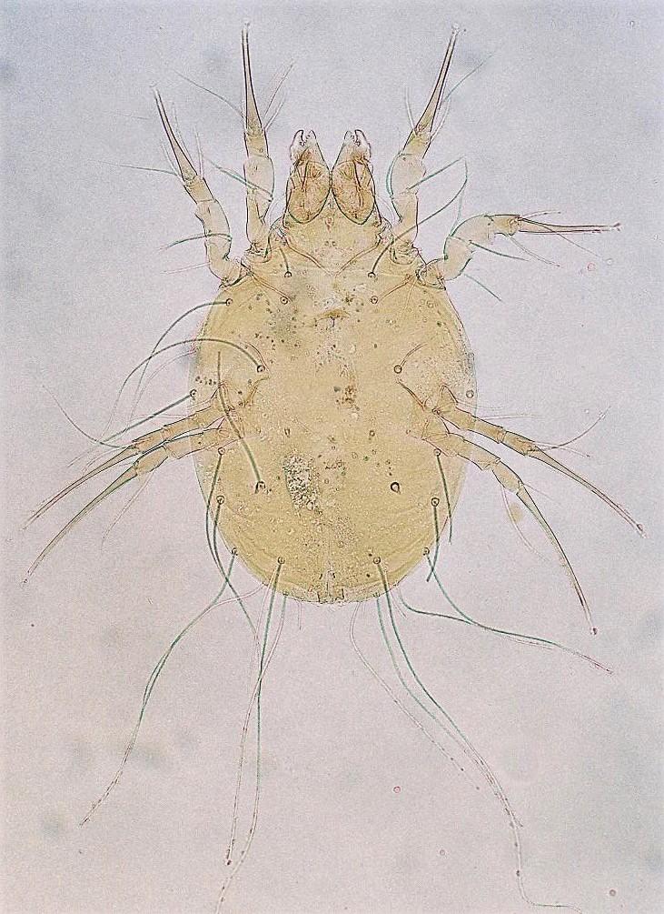 Glycyphagus-spp-mite