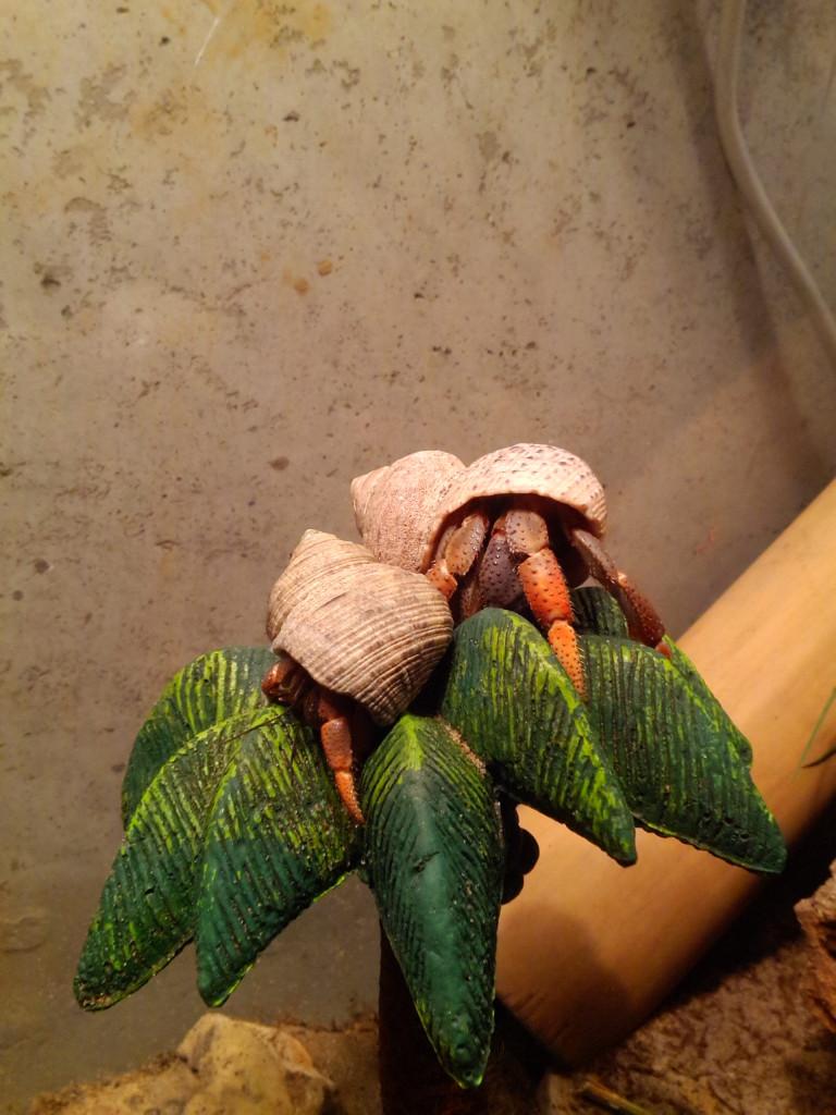 Hermit crabs basking under the heat lamp